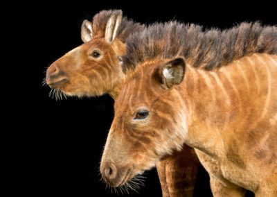 ark-encounter_phase-1_hebron_animal-kinds_horse_low-res_06292016_0000