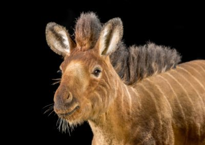 ark-encounter_phase-1_hebron_animal-kinds_horse_low-res_06292016_0001