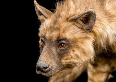 ark-encounter_phase-1_hebron_animal-kinds_hyena_low-res_06292016_0001
